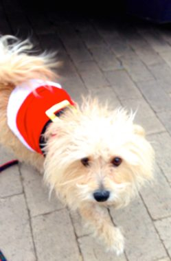 dog in santa costume walking outside